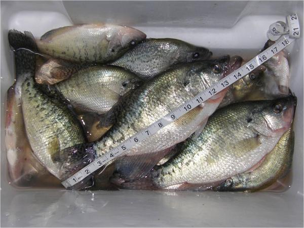 Catching crappie from my kayak again for Crappie fishing in alabama