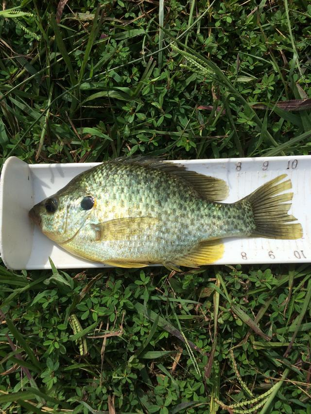 Tn shell crackers for Crappie fishing in tennessee
