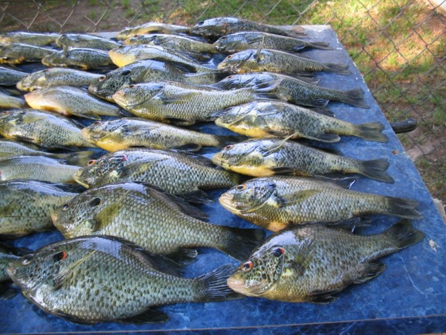 5 1 07 lake juliette a huge mess of shellcrackers for Crappie fishing in ga