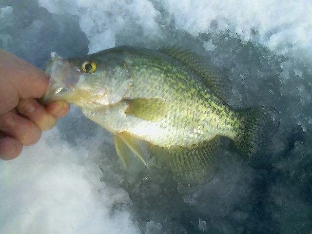 Ice fishing crappie for Crappie ice fishing