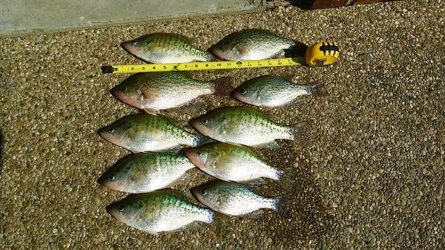 Taylorsville 4 15 report for Kentucky lake crappie fishing report