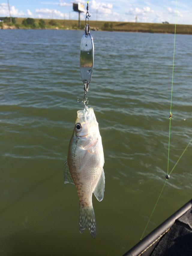 How big a bait will a crappie eat for Crappie fishing bait