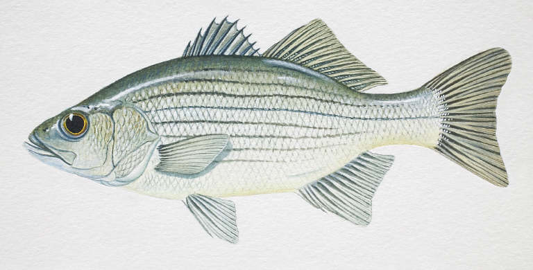 White perch vs white bass