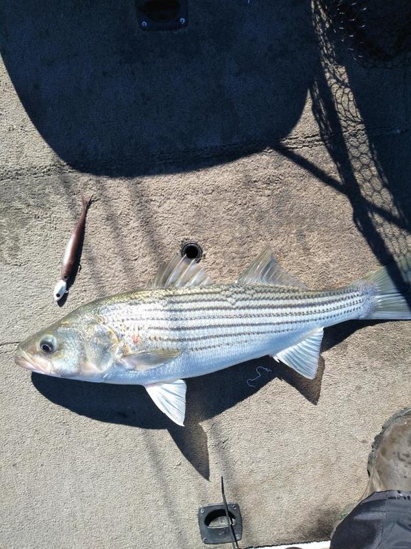Name:  6 striper.jpg